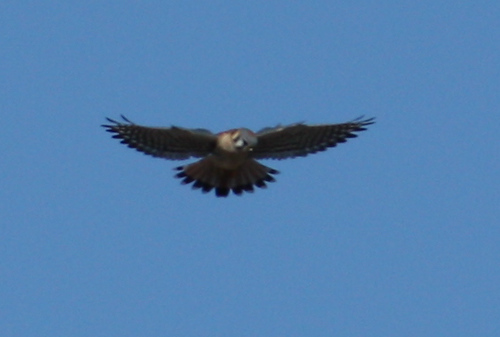 A male American kestrel (Falco sparverius) hovering above a field (2008_12_28_004095)
