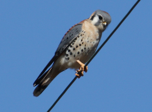 A male American kestrel (Falco sparverius) perched on a wire (2008_12_28_004127)