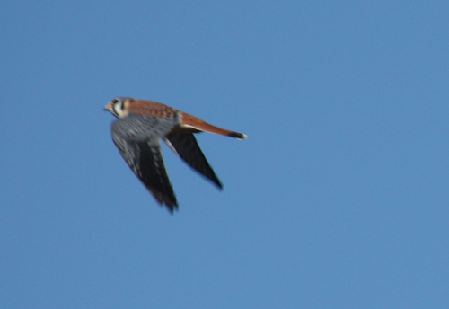 A male American kestrel (Falco sparverius) in flight (2008_12_28_004130)