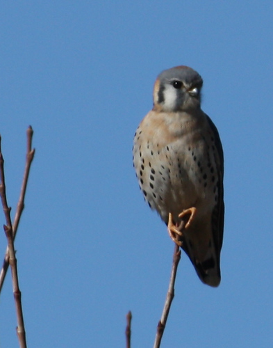 A male American kestrel (Falco sparverius) perched in a treetop (2008_12_28_004149)