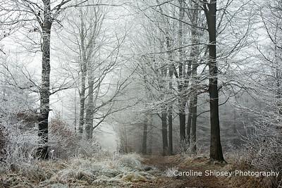 Hoar Frost in Woods