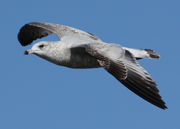 A juvenile ring-billed gull (Larus delawarensis) in flight (2008_12_27_003644)