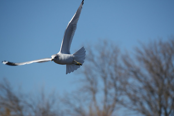 A ring-billed gull (Larus delawarensis) in flight (2008_12_07_001101)