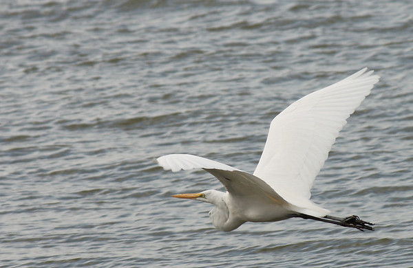 A great egret (Ardea alba) in flight (2008_12_13_002350)