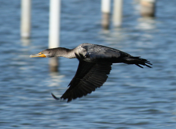 A double-crested cormorant (Phalacrocorax auritus) in flight (2008_12_25_003220)