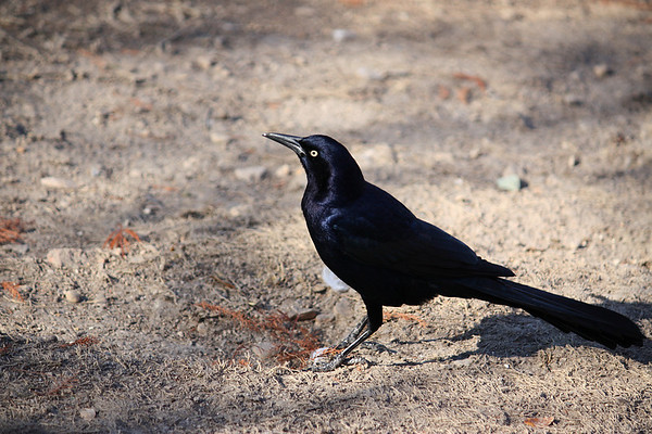 A male great-tailed grackle (Quiscalus mexicanus) standing on the ground (2008_12_07_001793)