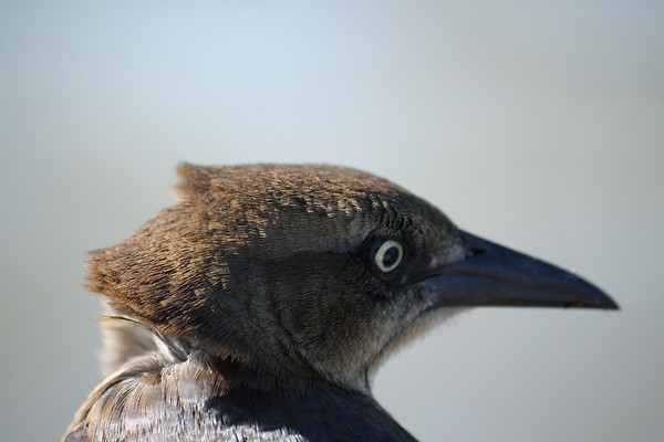 A close-up of a female great-tailed grackle (Quiscalus mexicanus) with her feathers being blown by the wind (2008_12_07_001599)