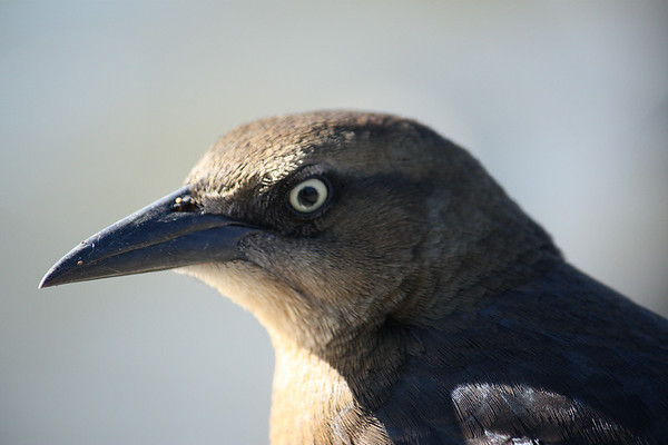 A close-up of a female great-tailed grackle (Quiscalus mexicanus) as she faces away from me (2008_12_07_001605)