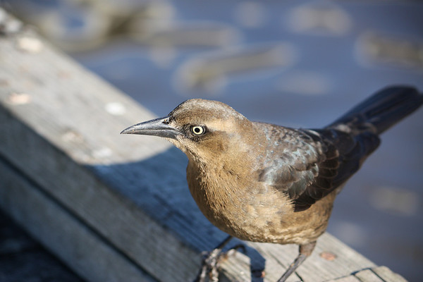A female great-tailed grackle (Quiscalus mexicanus) perched on the side of a pier (2008_12_07_001612)