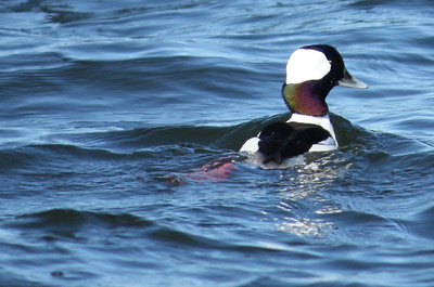 A male bufflehead (Bucephala albeola) swimming away from shore (2009_01_18_004678)