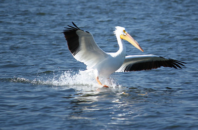 An American white pelican (Pelecanus erythrorhynchos) skimming the water's surface as it lands (2009_01_18_004700)