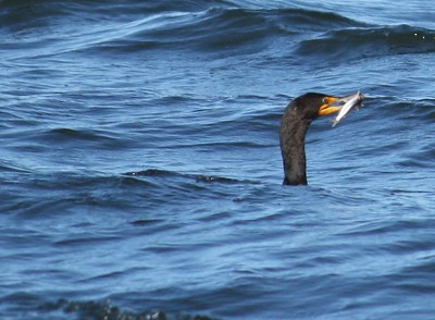 A double-crested cormorant (Phalacrocorax auritus) carrying a small fish in its beak (2009_01_18_004766)