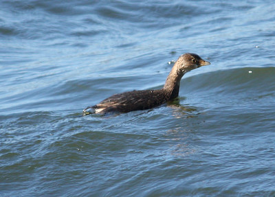 A pied-billed grebe (Podilymbus podiceps) swimming in rough waters (2009_01_18_004782)