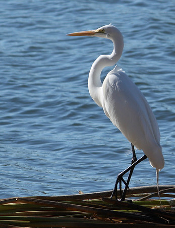 A great egret (Ardea alba) standing on fallen bamboo at the water's edge (2009_01_18_004811)