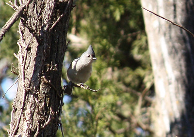 A tufted titmouse (Baeolophus bicolor) perched on a small limb while watching me (2009_01_18_004911)