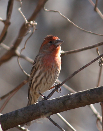 A male house finch (Carpodacus mexicanus) perched on a limb while watching me (2009_01_18_005056)