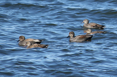 A paddling of gadwalls (Anas strepera) swimming in rough waters (2009_01_18_005100)