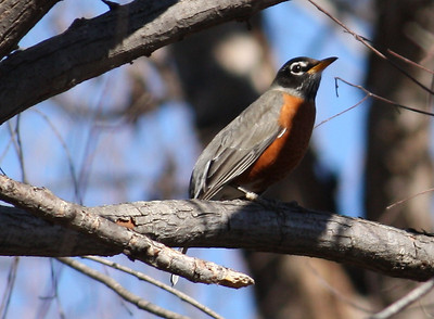 An American robin (Turdus migratorius) perched on a tree limb while watching me (2009_01_18_005031)