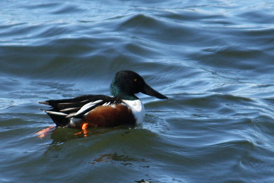 A male northern shoveler (Anas clypeata) swimming in rough water (2009_01_18_005064)