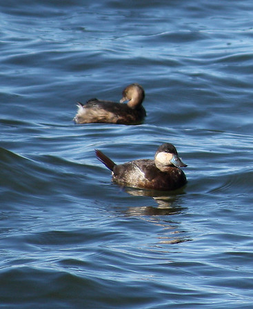 A male ruddy duck (Oxyura jamaicensis) floating on rough water while a pied-billed grebe (Podilymbus podiceps) preens behind him (2009_01_18_005109)