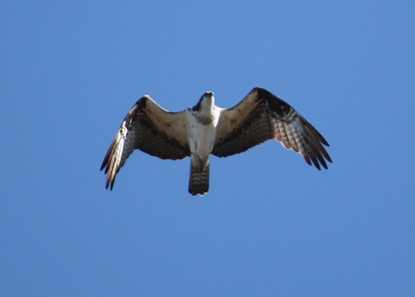 An osprey (a.k.a. seahawk, fish hawk, or fish eagle; Pandion haliaetus) flying overhead (2009_01_18_004798)