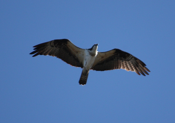 An osprey (a.k.a. seahawk, fish hawk, or fish eagle; Pandion haliaetus) flying overhead (2009_01_18_004800)