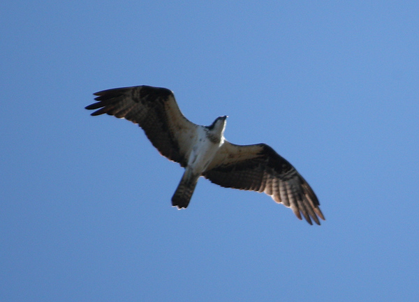 An osprey (a.k.a. seahawk, fish hawk, or fish eagle; Pandion haliaetus) flying overhead (2009_01_18_004801)