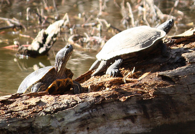 A red-eared slider (Trachemys scripta elegans) and an unidentified turtle sunning themselves on a log (2009_01_18_005040)