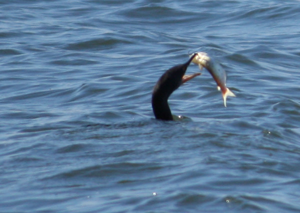 A double-crested cormorant (Phalacrocorax auritus) tossing a fish into the air (2009_01_18_004693)