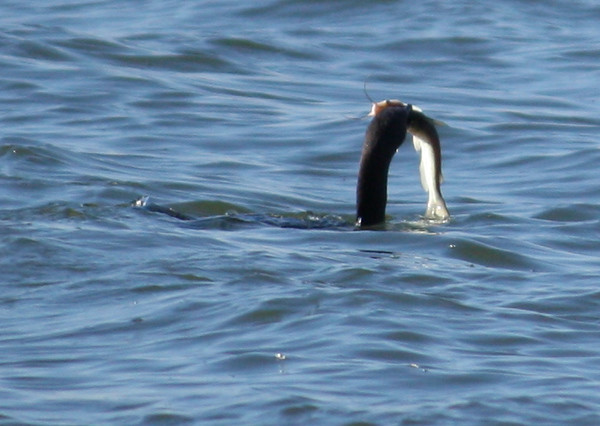A double-crested cormorant (Phalacrocorax auritus) swimming with a fish in its beak (2009_01_18_004694)