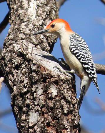 A male red-bellied woodpecker (Melanerpes carolinus) perched on the side of a tree (2008_12_24_002697)
