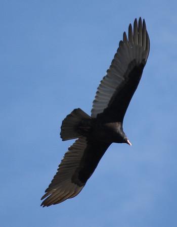 A turkey vulture (Cathartes aura) soaring overhead (2008_12_24_002721)