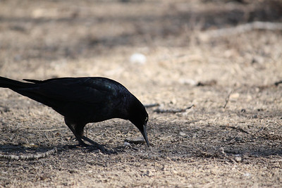 A male great-tailed grackle (Quiscalus mexicanus) foraging on the ground (2008_12_24_002733)
