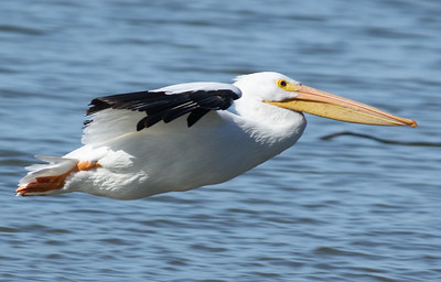 An American white pelican (Pelecanus erythrorhynchos) flying above the lake's surface (2008_12_24_002784)