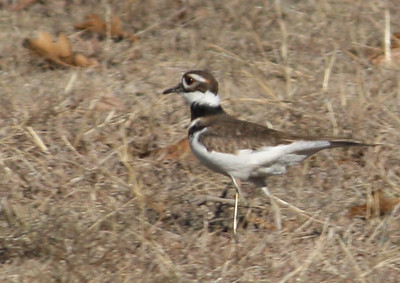 A killdeer (Charadrius vociferus) standing in an open field of dry grass (2008_12_24_002801)