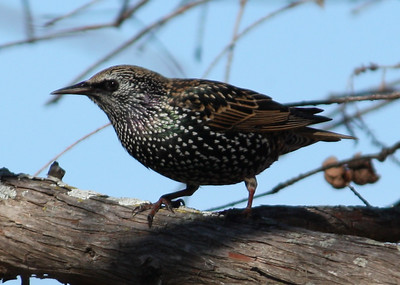 A European starling (Sturnus vulgaris) in nonbreeding plumage perched on a branch (2008_12_24_002837)