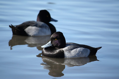 Two male lesser scaups (Aythya affinis) floating on calm water (2008_12_24_002868)