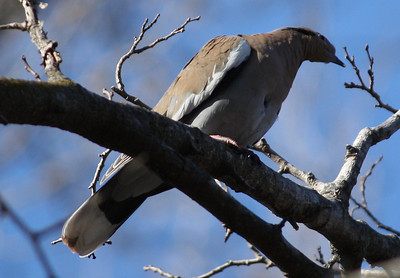 A white-winged dove (Zenaida asiatica) perched in a tree (2008_12_24_002951)