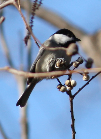 A Carolina chickadee (Poecile carolinensis) perched in a tree (2008_12_24_002963)