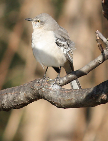 A northern mockingbird (Mimus polyglottos) perched in a tree (2008_12_24_002979)