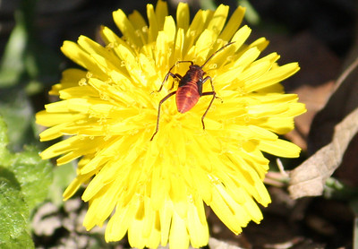 An eastern boxelder bug nymph (Boisea trivittata) on a common dandelion (Taraxacum officinale) (2008_12_24_002990)