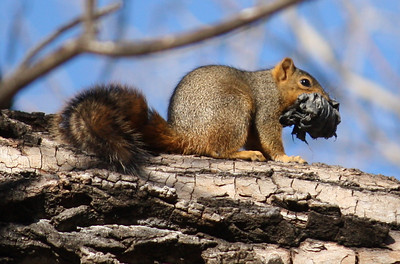 A fox squirrel (Sciurus niger) in a tree holding a wad of black plastic in its mouth (2008_12_24_003001)