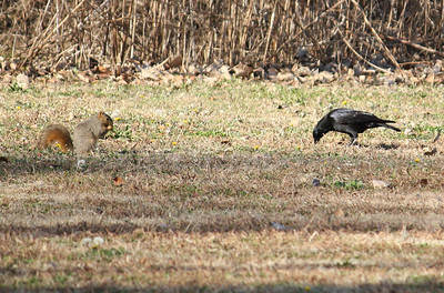 A fox squirrel (Sciurus niger) and an American crow (Corvus brachyrhynchos) foraging in winter grass (2008_12_24_003027)