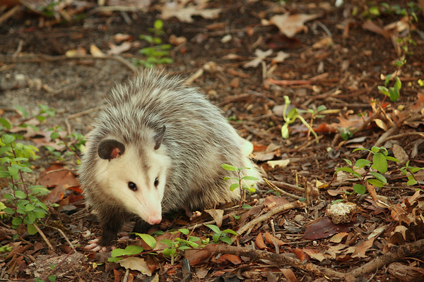 A Virginia opossum (a.k.a. possum; Didelphis virginiana) standing outside the patio fence (2008_12_19_002616)
