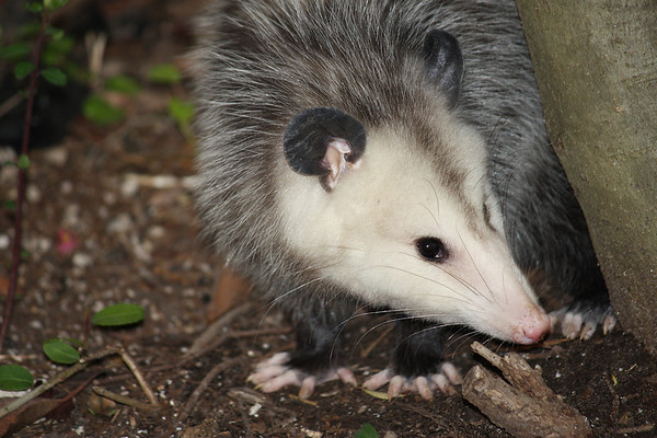A Virginia opossum (a.k.a. possum; Didelphis virginiana) standing behind a tree looking at me (2008_12_19_002635)
