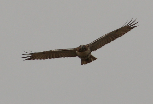 A juvenile red-tailed hawk (Buteo jamaicensis) in flight(2008_12_25_003352)