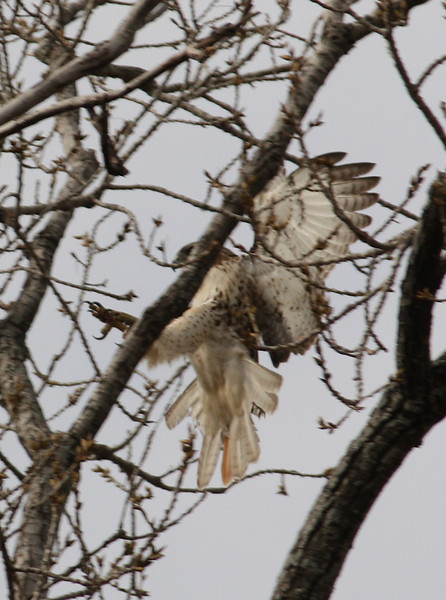 A juvenile red-tailed hawk (Buteo jamaicensis) landing in a tree (2008_12_25_003359)