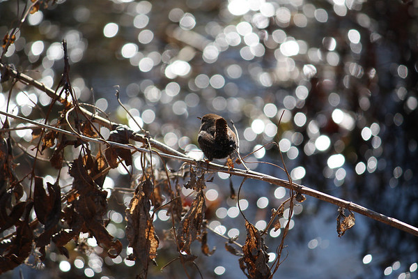 A winter wren (a.k.a. northern wren; Troglodytes troglodytes) perched on a dried branch in front of a sunlight-filled marsh (2008_12_28_003856)