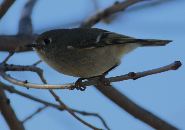 A ruby-crowned kinglet (Regulus calendula) perched in a tree (2008_12_28_004182)