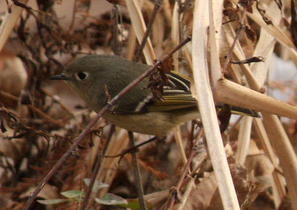 A ruby-crowned kinglet (Regulus calendula) perched in dry reeds (2009_01_17_004330)
